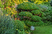 HARVARD FARM, DORSET: LAWN, CLIPPED TOPIARY PHILLYREA AND OSMANTHUS. GREEN, GARDENS, CLOUD, HEDGING, HEDGES