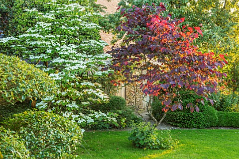 HARVARD_FARM_DORSET_LAWN_CLIPPED_TOPIARY_PHILLYREA_CORNUS_KOUSA_AND_CERCIS_CANADENSIS_FOREST_PANSY_G
