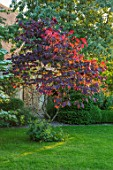 HARVARD FARM, DORSET: LAWN AND RED LEAVES OF CERCIS CANADENSIS FOREST PANSY. TREES, GREEN, RED