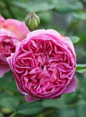 HARVARD FARM, DORSET: CLOSE UP OF SALMON / PINK FLOWER OF DAVID AUSTIN ROSE - ROSA BOSCOBEL - AUSCOUSIN. ENGLISH LEANDER HYBRID. SCENT, SCENTED, FRAGRANT
