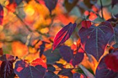 HARVARD FARM, DORSET: CLOSE UP PLANT PORTRAIT OF THE RED LEAVES OF CERCIS CANADENSIS FOREST PANSY. SHRUB, LEAF, FOLIAGE, REDBUD, AGM