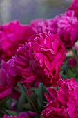 WORMSLEY, BUCKINGHAMSHIRE: THE OPERA GARDEN, DESIGNER HANNAH GARDNER: PLANT PORTRAIT OF RED FLOWERS OF PEONY - PAEONIA VICTOIRE DE L;A MARNE. PERENNIALS, FLOWERING