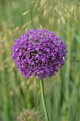 WORMSLEY, BUCKINGHAMSHIRE: THE OPERA GARDEN, DESIGNER HANNAH GARDNER: PLANT PORTRAIT OF PURPLE FLOWERS OF ALLIUM AMBASSADOR. BULBS, FLOWERING