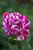 WORMSLEY, BUCKINGHAMSHIRE: THE OPERA GARDEN, DESIGNER HANNAH GARDNER: PLANT PORTRAIT OF PINK, WHITE, STRIPED, STRIPES,  FLOWERS OF ROSE - ROSA FERDINAND PICHARD. FLOWERING