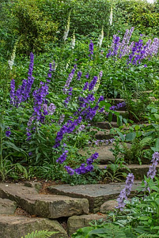 MORTON_HALL_WORCESTERSHIRE_ROCKERY_FERNS_BLUE_FLOWERS_OF_GREAT_BELLFLOWER__CAMPANULA_LATILOBA_HIDCOT