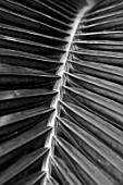 CLOSE UP PLANT PORTRAIT OF RHOPALOSTYLIS BAUERI - LEAVES, LEAF, NORFOLK, ISLAND, PALM, EXOTIC, TROPICAL, BLACK AND WHITE