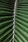 CLOSE UP PLANT PORTRAIT OF RHOPALOSTYLIS BAUERI - LEAVES, LEAF, NORFOLK, ISLAND, PALM, EXOTIC, TROPICAL, GREEN