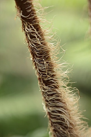 CLOSE_UP_PLANT_PORTRAIT_OF_DWARF_WOOLLY_TREE_FERN__CYATHEA_TOMENTOSISSIMA_HAIRS_HAIRY_STEMS_BRONZE_B