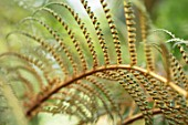CLOSE UP PLANT PORTRAIT OF DWARF WOOLLY TREE FERN - CYATHEA TOMENTOSISSIMA, HAIRS, HAIRY, BRONZE, BROWN, GREEN, LEAVES, PERENNIALS, FOLIAGE