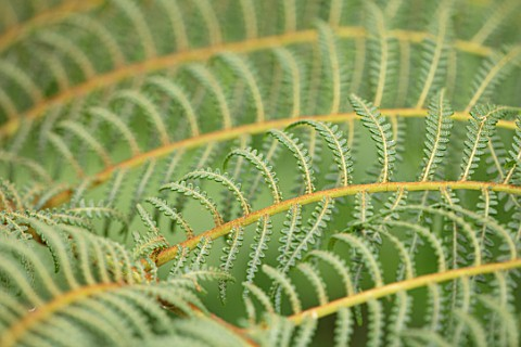 CLOSE_UP_PLANT_PORTRAIT_OF_DWARF_WOOLLY_TREE_FERN__CYATHEA_TOMENTOSISSIMA_HAIRS_HAIRY_BRONZE_BROWN_G