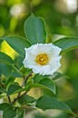 CLOSE UP PLANT PORTRAIT OF STEWARTIA PSEUDOCAMELLIA - WHITE, FLOWERS, AGM, TREES, FLOWER, GREEN, DECIDUOUS