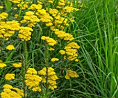 SOUTH HAYES, OXFORD: DESIGNER SARAH NAYBOUR: GARDEN ON A SLOPE - ACHILLEA MOONSHINE