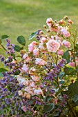 MORTON HALL, WORCESTERSHIRE: BORDER, NEPETA BRAMDEAN, ROSA FELICIA, ROSES, FLOWERING, FLOWERS, SUMMER, PINK