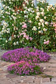 MORTON HALL, WORCESTERSHIRE: TERRACE, PATIO, ROSE - ROSA FELICIA, CARPENTERIA CALIFORNICA, THYME - THYMUS SERPYLLUM RUSSETINGS. PINK, WHITE, FLOWERS, JUNE, SUMMER