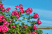 TOWN PLACE GARDEN, SUSSEX: PERGOLA, ARBOUR, ROSE - ROSA AMERICAN PILLAR, CLIMBING, CLIMBERS, PINK, FLOWERING, FLOWERS