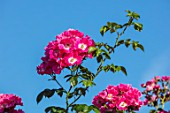 TOWN PLACE GARDEN, SUSSEX: ROSE - ROSA AMERICAN PILLAR, CLIMBING, CLIMBERS, PINK, FLOWERING, FLOWERS