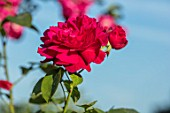 TOWN PLACE GARDEN, SUSSEX: ROSE - ROSA L D BRAITHWAITE, CLIMBING, CLIMBERS, PINK, FLOWERING, FLOWERS