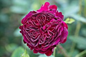 TOWN PLACE GARDEN, SUSSEX: ROSE - ROSA MUNSTEAD WOOD, CLIMBING, CLIMBERS, PINK, FLOWERING, FLOWERS