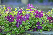 TOWN PLACE GARDEN, SUSSEX: CLEMATIS VITICELLA ETOILE VIOLETTE, CLIMBING, CLIMBERS, PURPLE, FLOWERING, FLOWERS, BLUE, SHRUBS