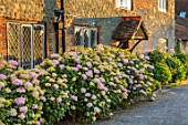 THE WALLED GARDEN AT COWDRAY, WEST SUSSEX: BORDER OF HYDRANGEAS BESIDE COTTAGE - HYDRANGEA ARBORESCENS PINK ANNABELLE. SHRUBS, HEDGES, HEDGING