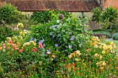 THE WALLED GARDEN AT COWDRAY, WEST SUSSEX: CLEMATIS PERLE DAZUR, ROSA AUTUMN SUNSET, CALENDULA INDIAN PRINCE. ROSES, BORDERS, YELLOW, FLOWERS, BLUE, CLIMBERS