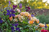 THE WALLED GARDEN AT COWDRAY, WEST SUSSEX: ROSA FORTUNES DOUBLE CLIMBER, CLEMATIS JACKMANII SUPERBA, PLANT COMBINATION, ASSOCIATION, ROSES, CLIMBERS, ORANGE, PURPLE, FLOWERS