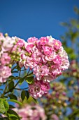 THE WALLED GARDEN AT COWDRAY, WEST SUSSEX: PLANT PORTRAIT OF PINK ROSE - ROSA APPLE BLOSSOM,  ENGLISH, COUNTRY, GARDENS, SUMMER