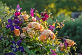 THE WALLED GARDEN AT COWDRAY, WEST SUSSEX: PLANT COMBINATION, ASSOCIATION, ROSES, ROSA COMPASSION, CLEMATIS JACKMANII SUPERBA, FLOWERS, ENGLISH, COUNTRY, GARDENS, SUMMER