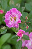 THE WALLED GARDEN AT COWDRAY, WEST SUSSEX: PLANT PORTRAIT OF PINK ROSE - ROSA APPLEJACK, ENGLISH, COUNTRY, GARDENS, SUMMER