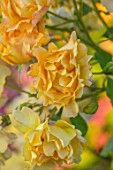 THE WALLED GARDEN AT COWDRAY, WEST SUSSEX: PLANT PORTRAIT OF YELLOW, ORANGE, ROSE - ROSA AUTUMN SUNSET,  ENGLISH, COUNTRY, GARDENS, SUMMER, DECIDUOUS, SHRUBS, ROSES