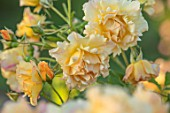 THE WALLED GARDEN AT COWDRAY, WEST SUSSEX: PLANT PORTRAIT OF YELLOW, ORANGE, ROSE - ROSA ST CLARE,  ENGLISH, COUNTRY, GARDENS, SUMMER, DECIDUOUS, SHRUBS, ROSES