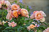 THE WALLED GARDEN AT COWDRAY, WEST SUSSEX: PLANT PORTRAIT OF PINK, ORANGE, FLOWERS OF ROSE - ROSA DELLA BALFOUR.  ENGLISH, COUNTRY, GARDENS, SUMMER, SHRUBS