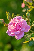 THE WALLED GARDEN AT COWDRAY, WEST SUSSEX: PLANT PORTRAIT OF PINK ROSE - ROSA ENGLISH, COUNTRY, GARDENS, SUMMER