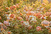 WYNYARD HALL, COUNTY DURHAM: WALLED ROSE GARDEN. SUMMER, JUNE, ROSES, PEACH, APRICOT, ORANGE - ROSA LADY OF SHALLOT