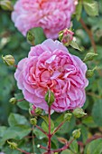 WYNYARD HALL, COUNTY DURHAM: CLOSE UP PORTRAIT OF PINK ROSE - ROSA ANNE BOLEYN. FLOWERS, SHRUBS, JUNE, SUMMER, AUSECRET, PERFUMED, SCENTED, PALE