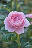 WYNYARD HALL, COUNTY DURHAM: CLOSE UP PORTRAIT OF PINK ROSE - ROSA QUEEN OF SWEDEN. FLOWERS, SHRUBS, JUNE, SUMMER, AUSTIGER, PERFUMED, SCENTED, PALE