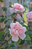 WYNYARD HALL, COUNTY DURHAM: CLOSE UP PORTRAIT OF PINK ROSE - ROSA THE GENEROUS GARDENER. FLOWERS, SHRUBS, JUNE, SUMMER