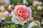 WYNYARD HALL, COUNTY DURHAM: CLOSE UP PORTRAIT OF APRICOT, ORANGE ROSE - ROSA PORT SUNLIGHT. FLOWERS, SHRUBS, JUNE, SUMMER