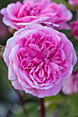 WYNYARD HALL, COUNTY DURHAM: CLOSE UP PORTRAIT OF PINK ROSE - ROSA THE GERTRUDE JEKYLL. FLOWERS, SHRUBS, JUNE, SUMMER