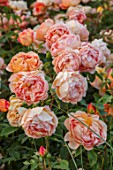 WYNYARD HALL, COUNTY DURHAM: CLOSE UP PORTRAIT OF FLOWERS, PETALS OF ORANGE, APRICOT ROSE - ROSA LADY OF SHALOT . FLOWERS, SHRUBS, JUNE, SUMMER