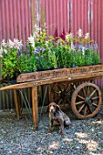 HARE SPRING COTTAGE PLANTS, YORKSHIRE: PLANT WHEEL CART WITH DOG BENEATH