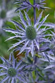 AVONDALE NURSERIES, COVENTRY: PLANT PORTRAIT OF BLUE, SILVER FLOWERS OF ERYNGIUM DOVE COTTAGE HYBRID, DECIDOUS, PERENNIALS, SPIKES, SPIKEY