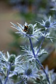 AVONDALE NURSERIES, COVENTRY: BEE ON BLUE, SILVER FLOWERS OF ERYNGIUM INDIGO STAR, DECIDOUS, PERENNIALS, SPIKES, SPIKEY, PRICKLY, SEA HOLLY, INSECTS