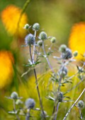 AVONDALE NURSERIES, COVENTRY: BLUE, SILVER FLOWERS OF ERYNGIUM, DECIDOUS, PERENNIALS, SPIKES, SPIKEY, PRICKLY, SEA HOLLY, INSECTS