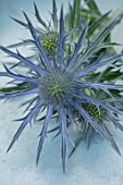 AVONDALE NURSERIES, COVENTRY: BLUE, SILVER FLOWERS OF ERYNGIUM X ZABELII VIOLETTA, DECIDOUS, PERENNIALS, SPIKES, SPIKEY, PRICKLY, SEA HOLLY, INSECTS