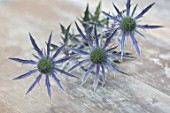 AVONDALE NURSERIES, COVENTRY: BLUE, SILVER FLOWERS OF ERYNGIUM X ZABELII BIG BLUE, DECIDOUS, PERENNIALS, SPIKES, SPIKEY, PRICKLY, SEA HOLLY, INSECTS