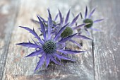AVONDALE NURSERIES, COVENTRY: BLUE, SILVER FLOWERS OF ERYNGIUM DOVE COTTAGE HYBRID, DECIDOUS, PERENNIALS, SPIKES, SPIKEY, PRICKLY, SEA HOLLY, INSECTS