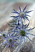 AVONDALE NURSERIES, COVENTRY: BLUE, SILVER FLOWERS OF ERYNGIUM INDIGO STAR, DECIDOUS, PERENNIALS, SPIKES, SPIKEY, PRICKLY, SEA HOLLY, INSECTS