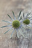 AVONDALE NURSERIES, COVENTRY: BLUE, SILVER FLOWERS OF ERYNGIUM X ZABELII, DECIDOUS, PERENNIALS, SPIKES, SPIKEY, PRICKLY, SEA HOLLY, INSECTS