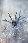 AVONDALE NURSERIES, COVENTRY: BLUE, SILVER FLOWERS OF ERYNGIUM X OLIVIERI. DECIDOUS, PERENNIALS, SPIKES, SPIKEY, PRICKLY, SEA HOLLY